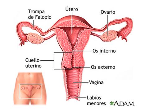 útero